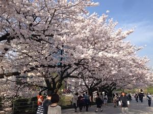 春の代名詞~桜~