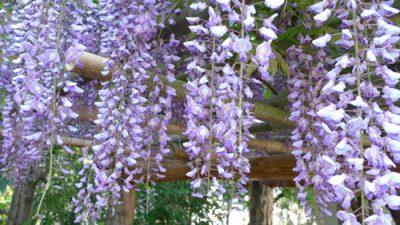 藤の花が咲いたら