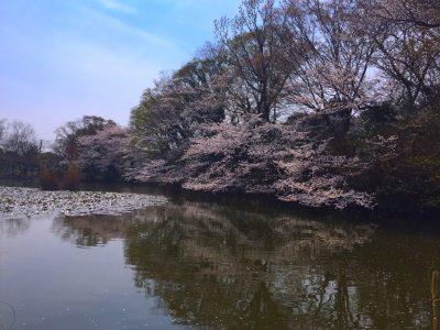 小さな公園の桜
