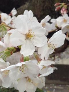 桜にかこつけて