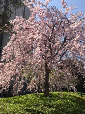 桜の季節再び 2018