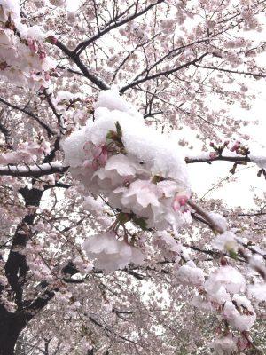 雪解けの桜を思いながら