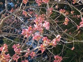八幡様の 紅枝垂 桜