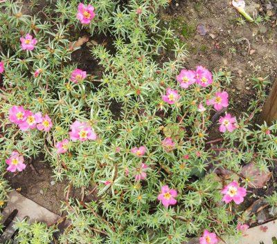 松葉牡丹とおしろい花