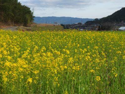 さくら、福岡の開花は3月20日だってさ