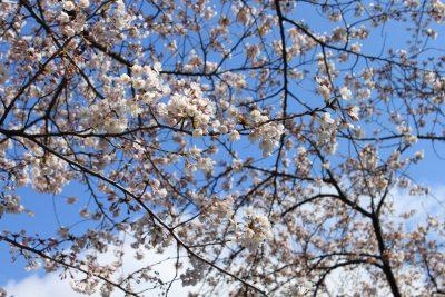 いつか見た桜