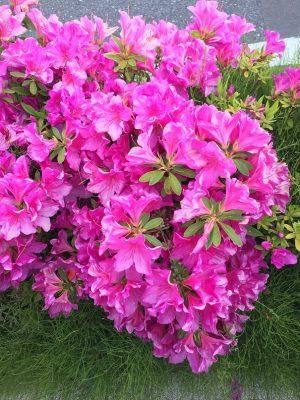 花は散る、花は咲く
