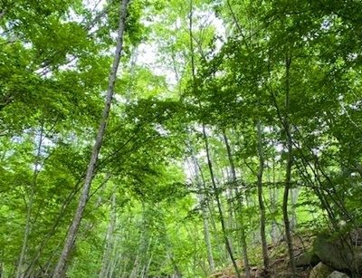 春ゼミ鳴く森へ